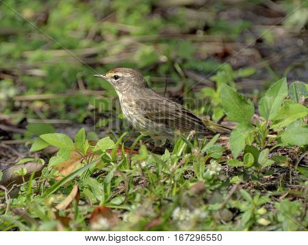 Profile view on an alert litle Palm Warbler migratory bird standing in grass