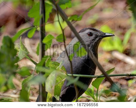 Gray Catbird poking its head out from cover of shrubs on the ground