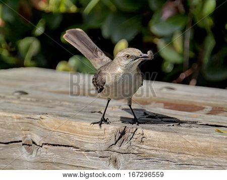 Northern Mockingbird with insect caught in its beak