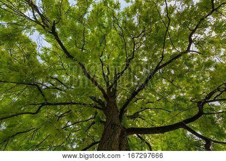 Upward view on acacia tree green crown dark branches