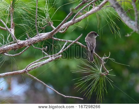 Migratory Eastern Phoebe perched on a tree in Florida wetlands during winter season