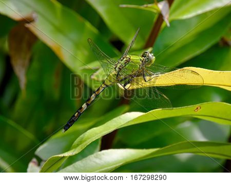 Eastern Pondhawk Dragonfly blending in with green plant