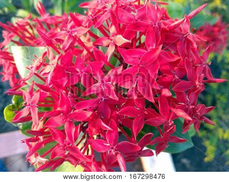 Closeup of the Bunch of Fowers of Ixora