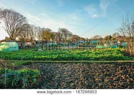 Allotment is a small plot of land you rent and then cultivate your own vegetables. This is an autumn shot and shows a crop of cabbages.
