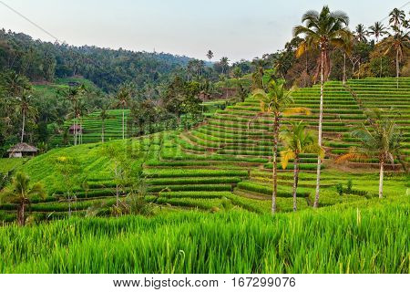 Beautiful view of Balinese green rice growing on tropical field terraces. Best scenic Asian backgrounds and landscapes people culture and nature of Bali and Java islands travel places in Indonesia