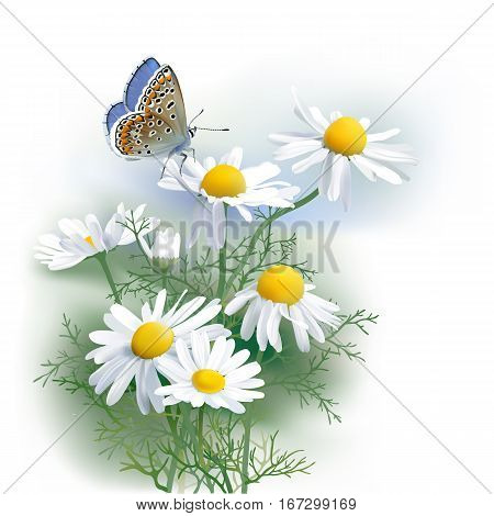 Butterfly and Chamomile. Hand drawn vector illustration of Adonis blue butterfly and Chamomile (Matricaria chamomilla) an aromatic wild flower, used as tea ingredient in herbal medicine.