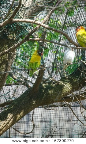 A beautiful Yellow lovebirds in a cage
