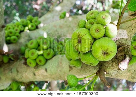 Ficus carica tree Ficus racemosa tree Fig on tree common figs on tree