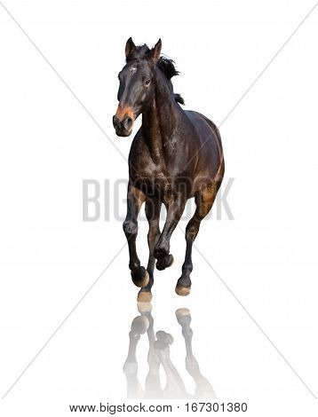 Bay horse isolated on white background runs forward