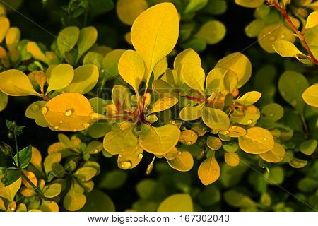 The sprouts of barberry in the spring