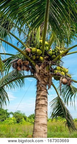 Coconut tree and coconuts on blue sky young coconuts on tree