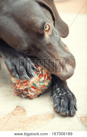 German short haired pointer known as Kurzkhaar playing with dog
