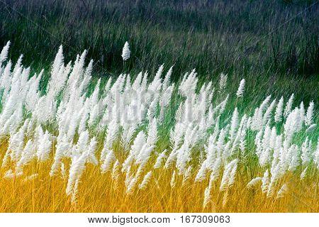 Kans grass Saccharum spontaneum dark green backgound Kolkata West Bengal India - welcoming autumn in the city.
