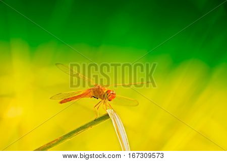 Red dragonfly sitting green and yellow bright natural background Kolkata West Bengal India