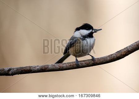 Black-capped Chickadee (poecile atricapillus) with a sunflower seed in its mouth.
