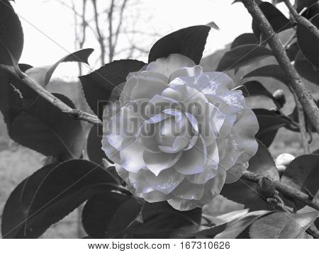 Ancient japanese cultivar of Camellia japonica flower . Artistic representation