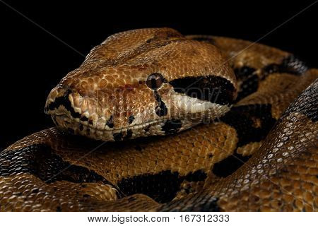 Close-up head of Boa constrictor snake imperator color, lying on isolated black background with reflection