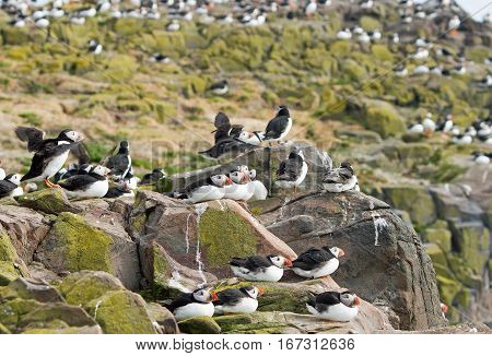 Flocks of Puffins nesting and resting on the rocky landscape of the Farne Islands in Northumberland