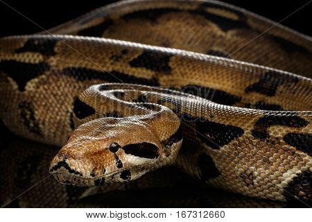 big Boa constrictor snake imperator color, lying on isolated black background with reflection