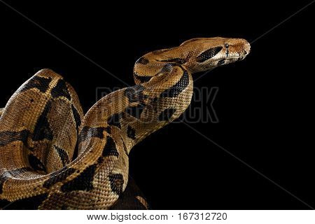 Attack Boa constrictor snake imperator color, on isolated black background
