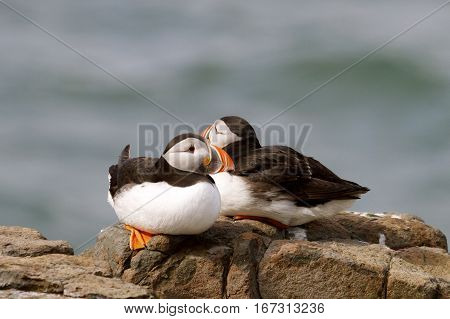 Two puffins resting on a cliff edge on the Farne Islands in Northumberland