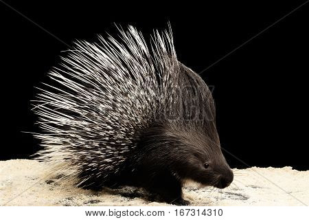 Porcupine with prickle isolated on black background, wild animal