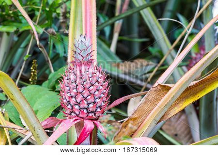 Dwarf mini pink pineapple in nature Bromeliad for decoration Thailand