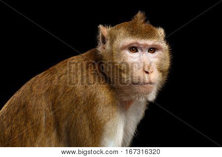 Close-up portrait Sad monkey, Long-tailed macaque, Crab-eating, isolated on black background