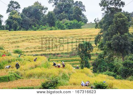 Cooperated Manual Rice Harvesting