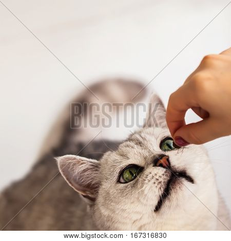 Funny cat reaches for the hand of his mistress for a favorite treat