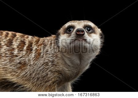 Close-up head of Cute Meerkat isolated on black background