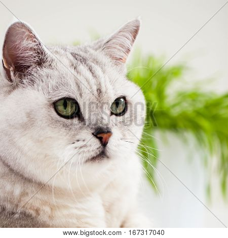 Close-up beautiful , light shade cat with green eyes on white background.