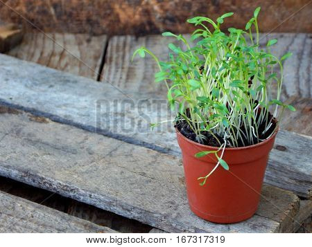 Micro greens sprout. Fresh watercress salad in a pot on a wooden background. Selective focus