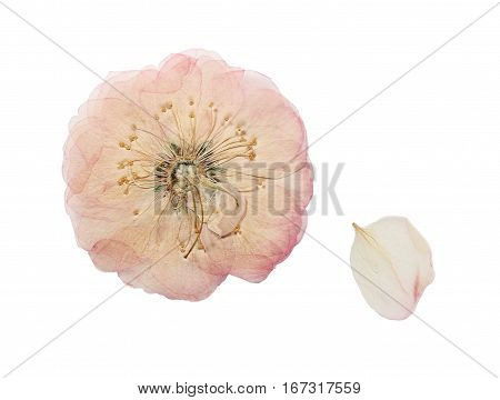 Pressed and dried pink delicate transparent flower wild rose. Isolated on white background. For use in scrapbooking floristry (oshibana) or herbarium.