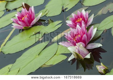 Pink water lilies as a background closeup