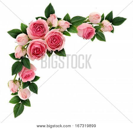 Pink rose flowers and buds corner arrangement isolated on white. Flat lay top view.