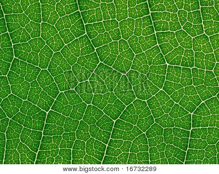 Green leaf texture closeup background.