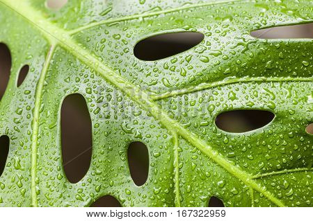Water drops on leaf of Monstera deliciosa Swiss cheese plant.