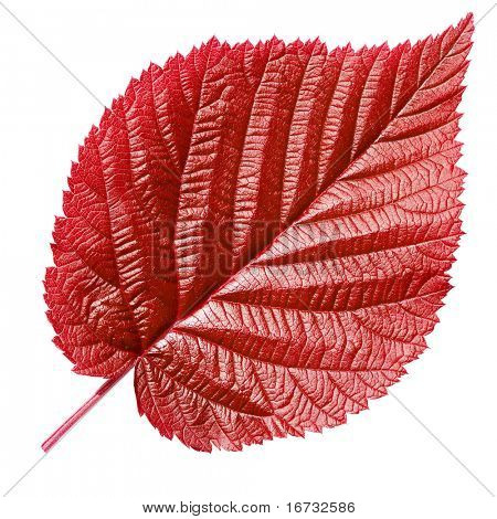 Red leaf isolated on white background.