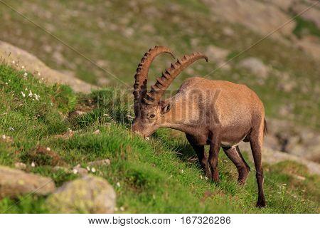 Ibex Range of Mont Blanc. French Alps