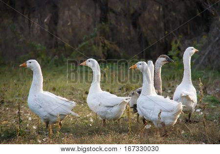 a flock of geese grazing on the grass in the autumn