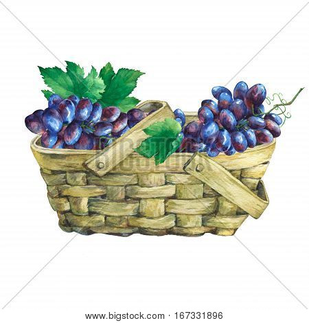 Basket wattled of veneer with fresh bunches of black grapes. Hand drawn watercolor painting on white background.
