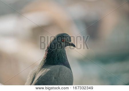 Head shot of beautiful speed racing pigeon bird
