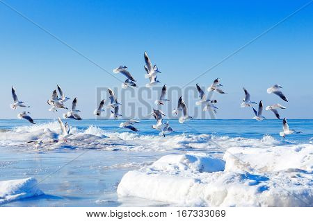 flock of white gulls flying over the frozen sea in winter
