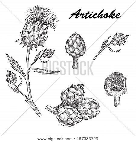 Vector set hand drawn artichoke illustration on white background