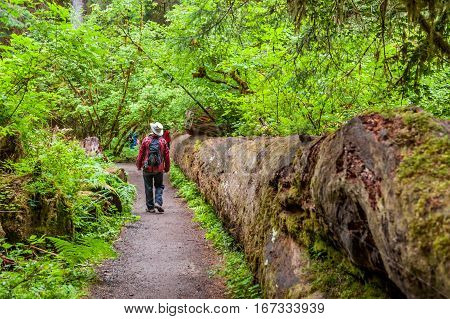 walker into the path of the temperate Hoh Rain Forest.Olympic National Park Washington State USA