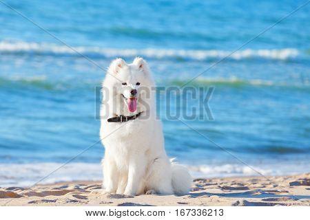 White dog Samoyed sitting on the beach on sea background
