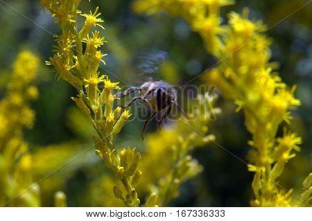 Honeybee in flight above flowers macro photography