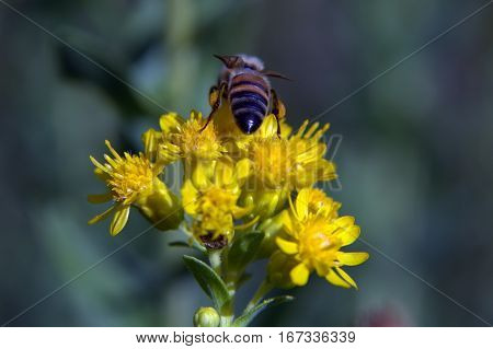 Honeybee pollinating flower abdomen macro photography summer