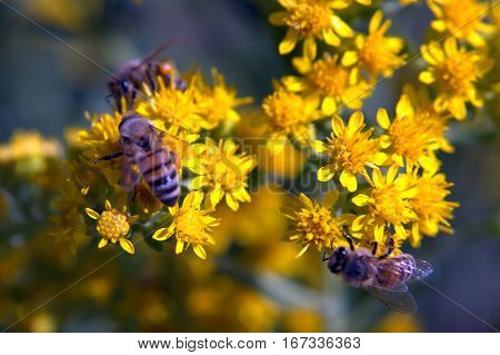 flower pollination by Honeybees macro photography insects